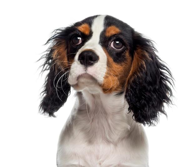 Headshot van een cavalier king charles spaniel-puppy