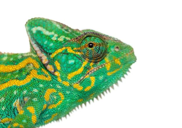 Headshot van een kameleon van jemen - chamaeleo calyptratus - geïsoleerd op wit