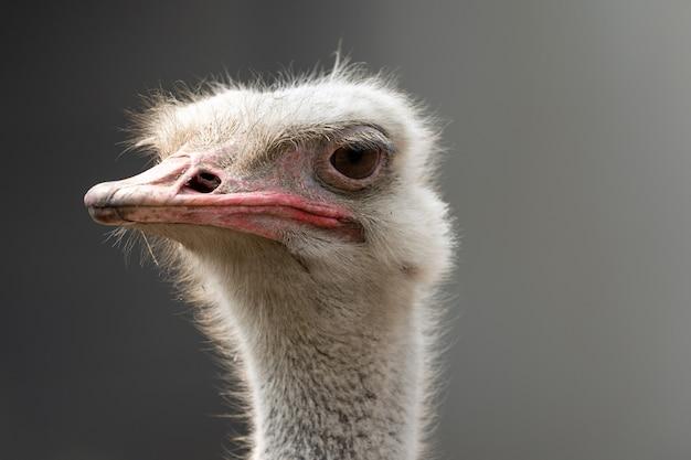 Headshot van een struisvogel op de wazige grijze achtergrond