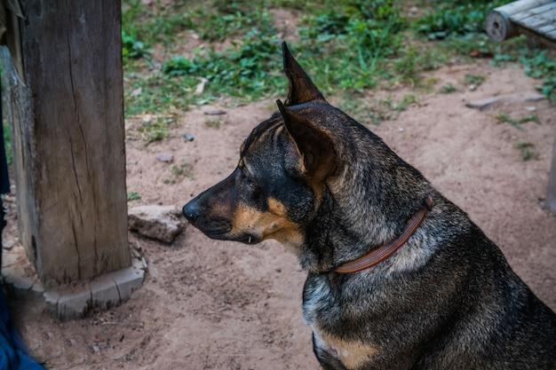 Headshot van een thaise hond, zijschot