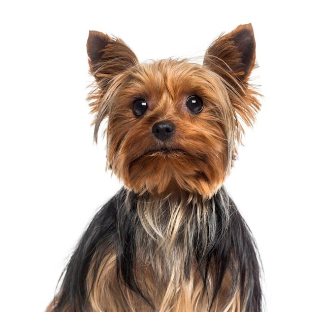 Headshot van een yorkshire terrier