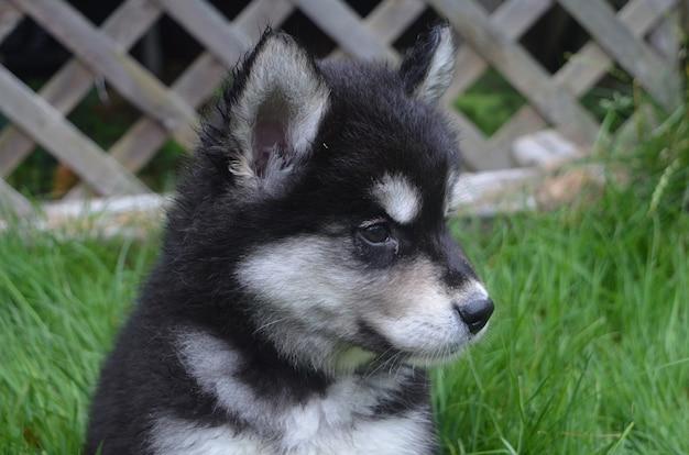 Heel lief gezicht van een alusky puppyhond die in het gras speelt
