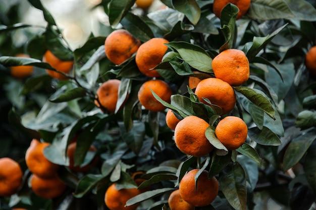 Heerlijke mandarijnvruchten op de sappige groene bladerenboom. conceptie van de lente, nieuw leven in de natuur.