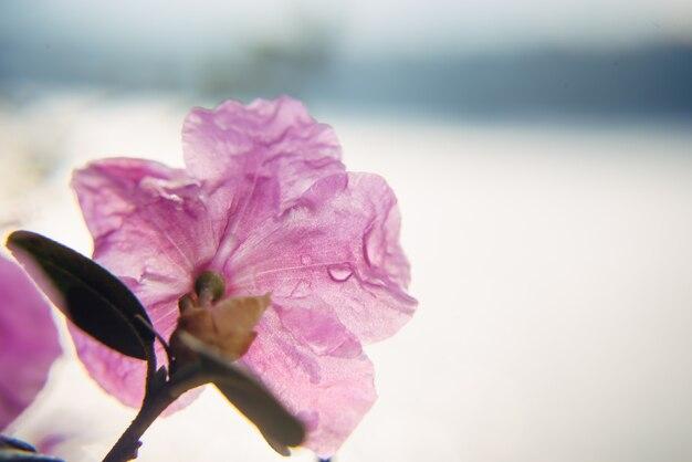 Heerlijke roze sakura-bloem met ochtenddauwdruppels, close-up, zachte focus. abstract floral achtergrond, afbeelding voor wenskaart met kopie ruimte.