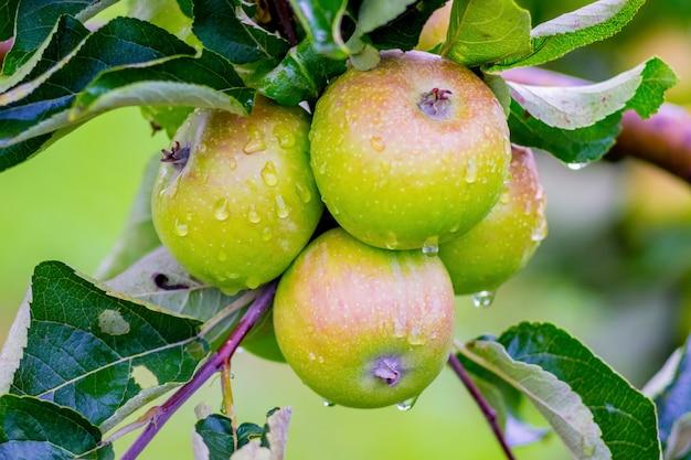 Heerlijke sappige appels met dauw druppels op een boomtak