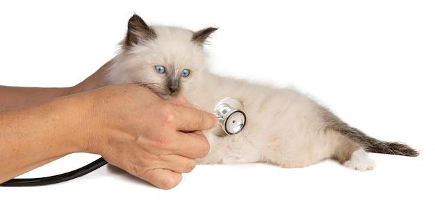 Heilige kitten van birma gecontroleerd met een stethoscoop op wit oppervlak