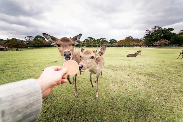 Heilige sika-herten nara park bos, japan