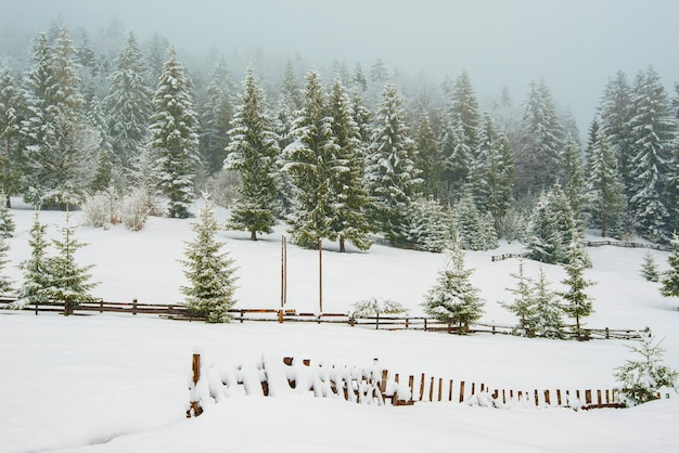 Hekken gluren onder hoge sneeuwbanken tegen een achtergrond van hoge besneeuwde sparren in mist