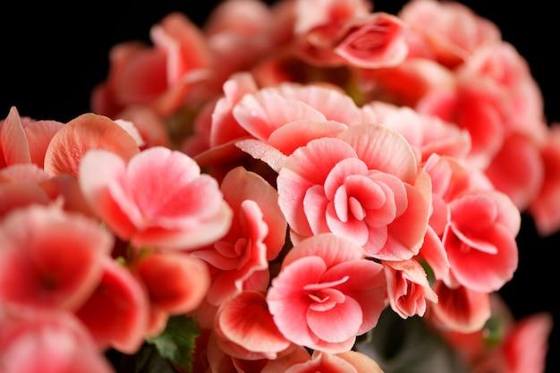 Helder bloeiende bloemen van pelargonium, geranium, pelargonium, bloemen met decoratieve witte lijnen op een zwarte achtergrond