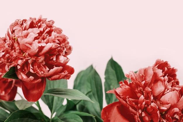 Helder bloeiende bloemen van pioenrozen.