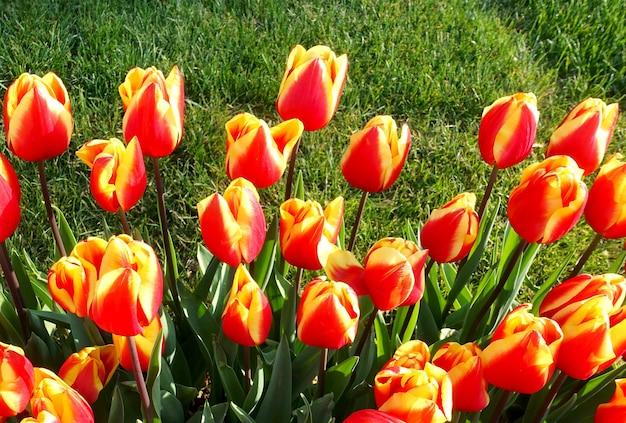 Helder bloeiende rode en gele tulpen op een bloembed