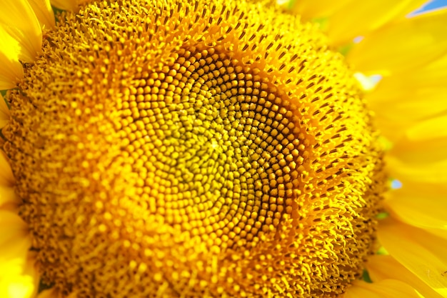 Helder geel zonnebloem bloem close-up in een veld op een zomerse dag