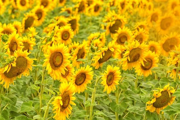Helder geel zonnebloemgebied één zonnige de zomerdag.