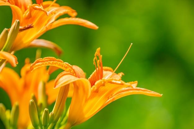 Helder geeloranje bloemen van een daglelie hemerocallis tegen groene tuin.