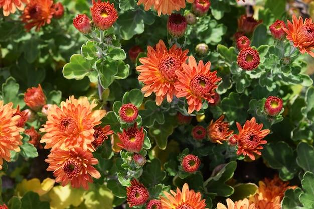 Helder gekleurde chrysanthemum bloemen als achtergrond