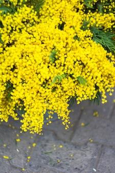 Helder gele mimosa bloemen