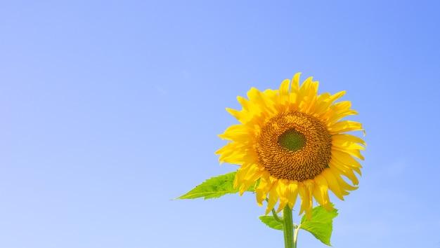 Helder gele zonnebloem tegen een blauwe hemel met kopie ruimte. zomer zonnige achtergrond voor tekst.