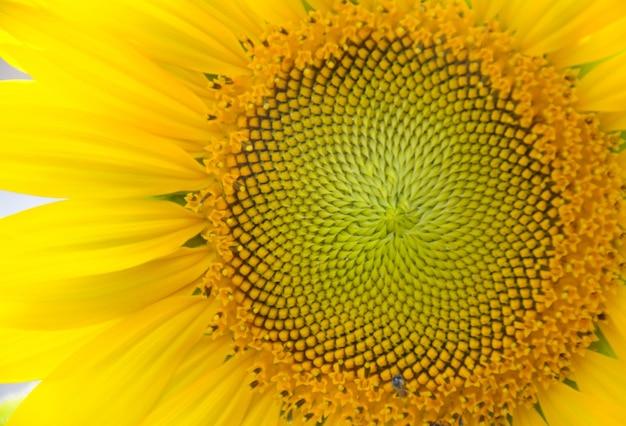 Helder gele zonnebloemen mooie close-up