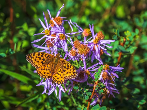 Helder imago fabriciana adippe, hoge bruine parelmoervlinder op een bloem, close-up.