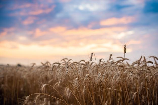 Helder kleurrijk landschap van een veld van rijpe tarwe met levendige wolken op de achtergrond