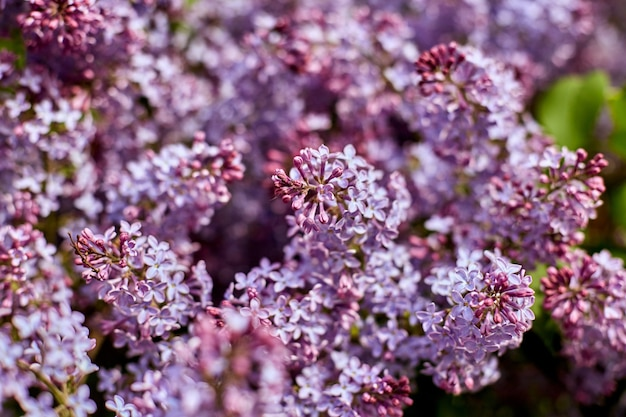 Helder lila bloemen op mooie zomerse zonnige dag. grote schoonheid lila struiken bloeien in de natuur.