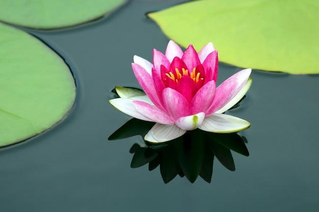 Helder rood bloemlelie lotuswater. plantkunde en vegetatie