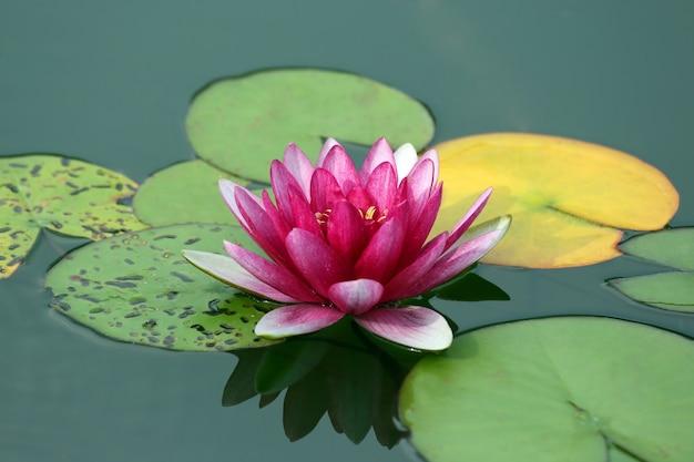 Helder rood de lotusbloemwater van de bloemlelie