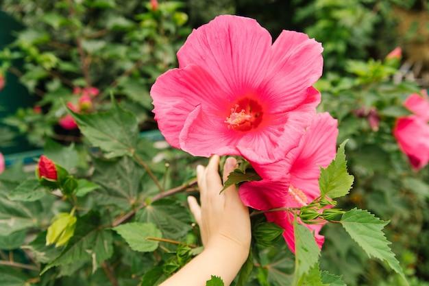 Helder roze tropische hibiscus bloem, groene bladeren op een natuurlijke achtergrond. decoratieve bloem in de huistuin.