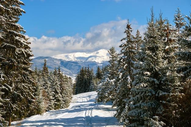 Helder winterlandschap met pijnbomen bedekt met verse gevallen sneeuw in bergbos op koude winterdag.