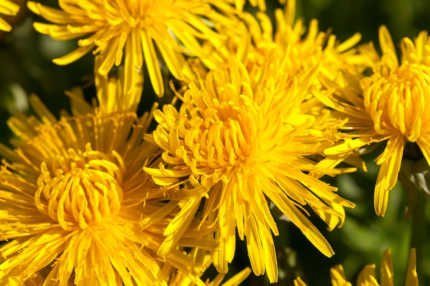 Heldere bloeiwijze van verse gele paardebloemen in de paardebloemen van het de lenteseizoen van het gebied