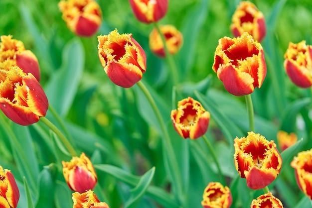 Heldere bloemen van tulpen op een tulpenveld op een zonnige ochtend