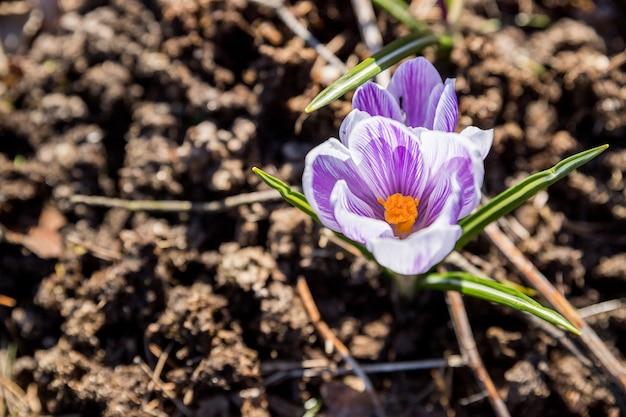 Heldere, delicate lente paarse krokussen in de tuin op een vroege zonnige ochtend. ontwaken van planten in de natuur na de winter. bos botanische krokussen wilde bloemen. bloembed met krokussen