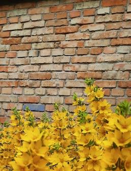 Heldere gele bloemen op een bakstenen muurachtergrond. de bloemen op de voorgrond zijn erg wazig, de muur is niet gepleisterd.