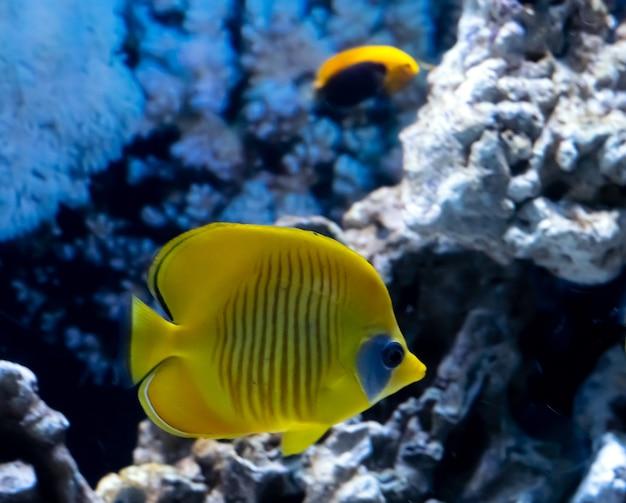 Heldere gele tropische vissen in koraalriflandschap, rode zee