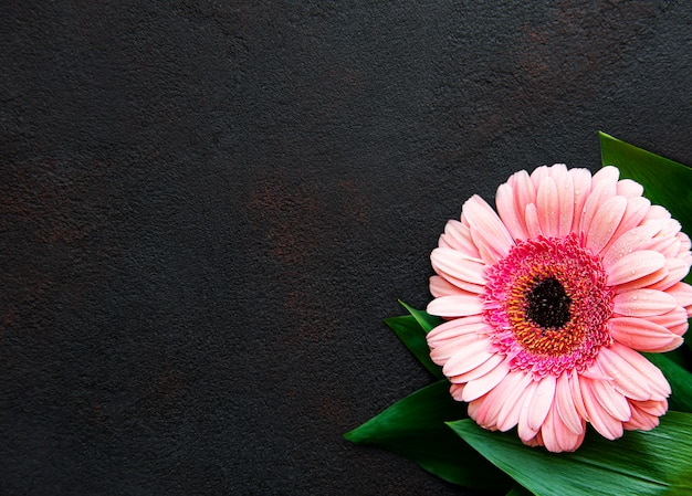 Heldere gerberabloem op een zwarte concrete achtergrond. frame van bloemen, bovenaanzicht