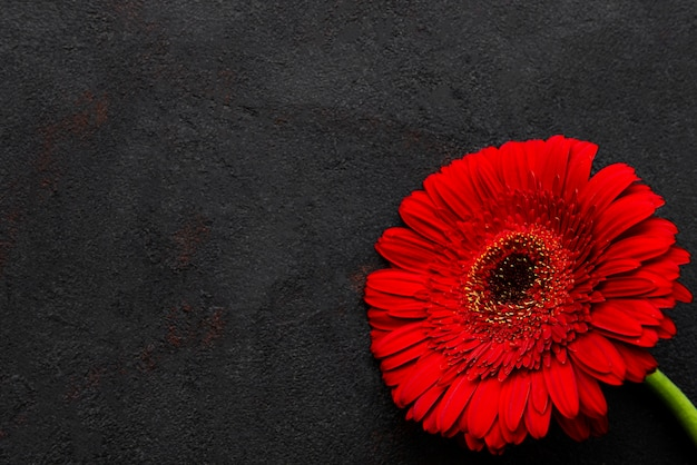 Heldere gerberabloem op een zwarte