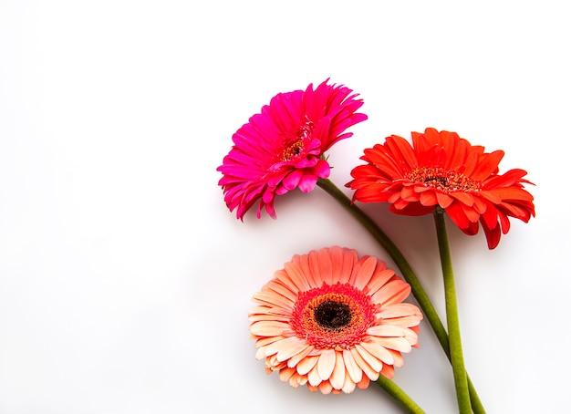 Heldere gerberabloemen op een wit