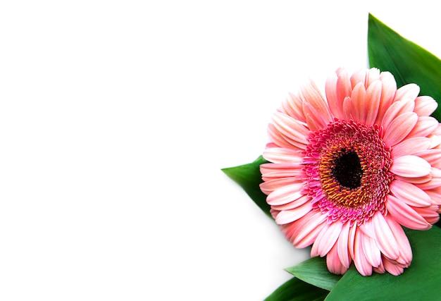Heldere gerberabloemen op een witte achtergrond. frame van bloemen, bovenaanzicht