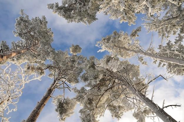 Heldere hoge bomen onder verse sneeuw over bewolkte hemel