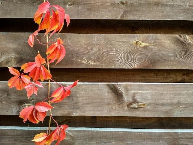 Heldere kleurrijke bladeren van wilde druiven klimop op de houten achtergrond.
