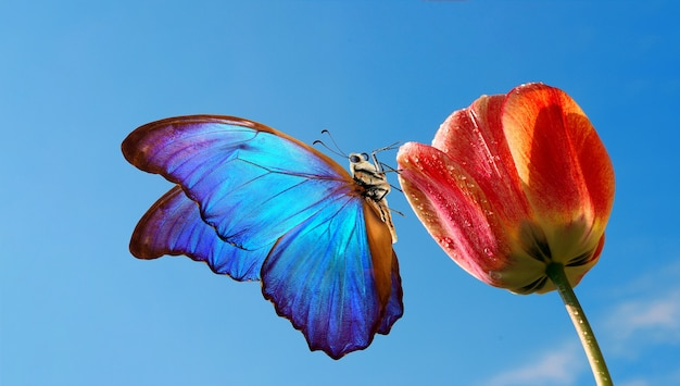Heldere kleurrijke blauwe morphovlinder op een tulpenbloem tegen de blauwe hemel