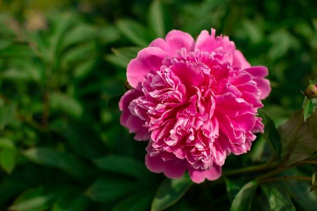 Heldere kleurrijke bloem op donkergroene gebladerteaard. close-up macro-opname van roze pioen knop. mooie zomerse lente natuurlijke lettertypen. wenskaart, screensaver-concept, kopie ruimte