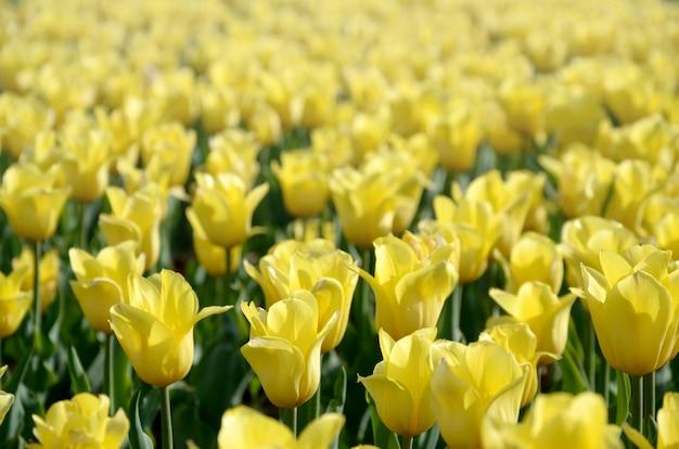 Heldere kleurrijke gele tulpenbloesems in de lentetijd