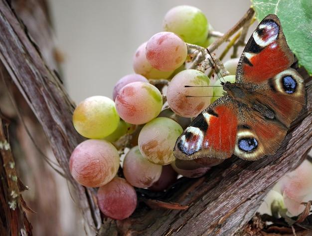 Heldere kleurrijke pauw vlinder op een bos van rijpe druiven