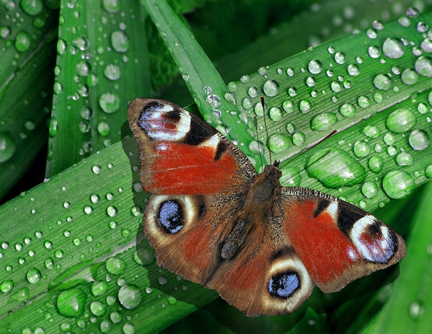 Heldere kleurrijke pauw vlinder op groene bladeren van een lelie in druppels water na regen