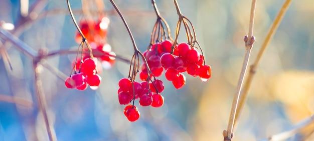 Heldere rode bessen van gelderse roos met dauw druppels bij zonnig weer