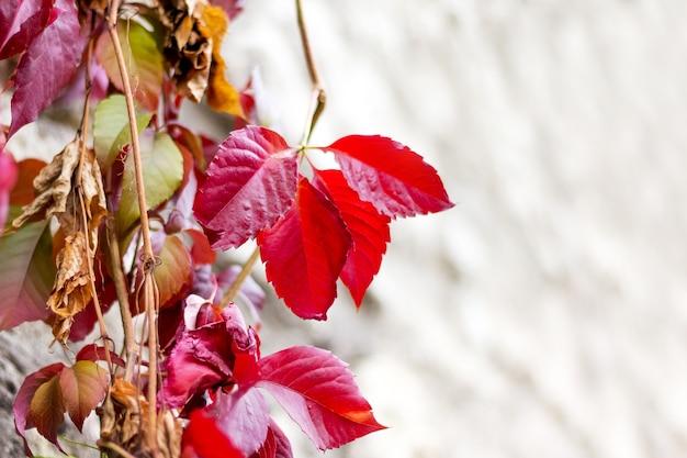 Heldere rode herfstbladeren tegen de achtergrond van een lichte muur van het gebouw. kopieer ruimte
