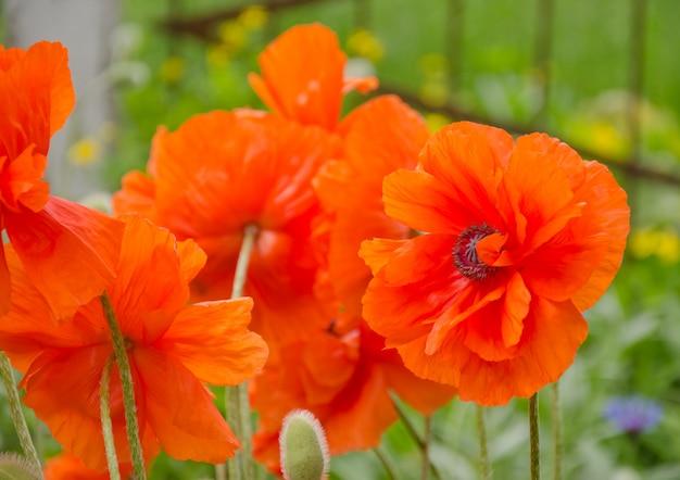 Heldere rode papaver bloemen in de wind