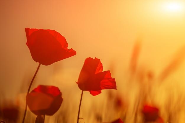 Heldere rode papavers in een veld bij zonsondergang.