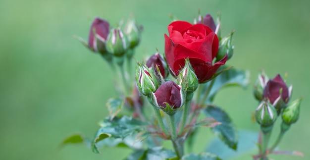 Heldere rode roos en jonge bloemen. bovenaanzicht, selectieve aandacht.